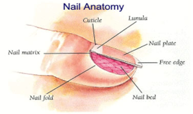The Major Parts Of Toenail Are Nail Itself Plate Matrix From Where Grows Lunula White Moon Shaped Area At